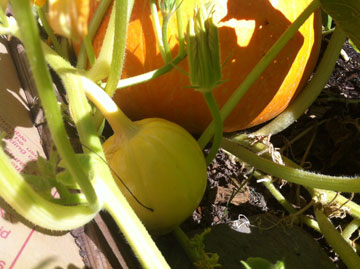My Pumpkin Patch